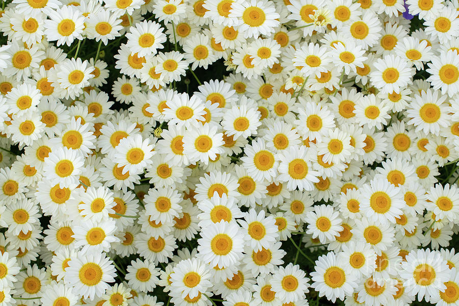 Chamomile Flowers Pattern by Tim Gainey
