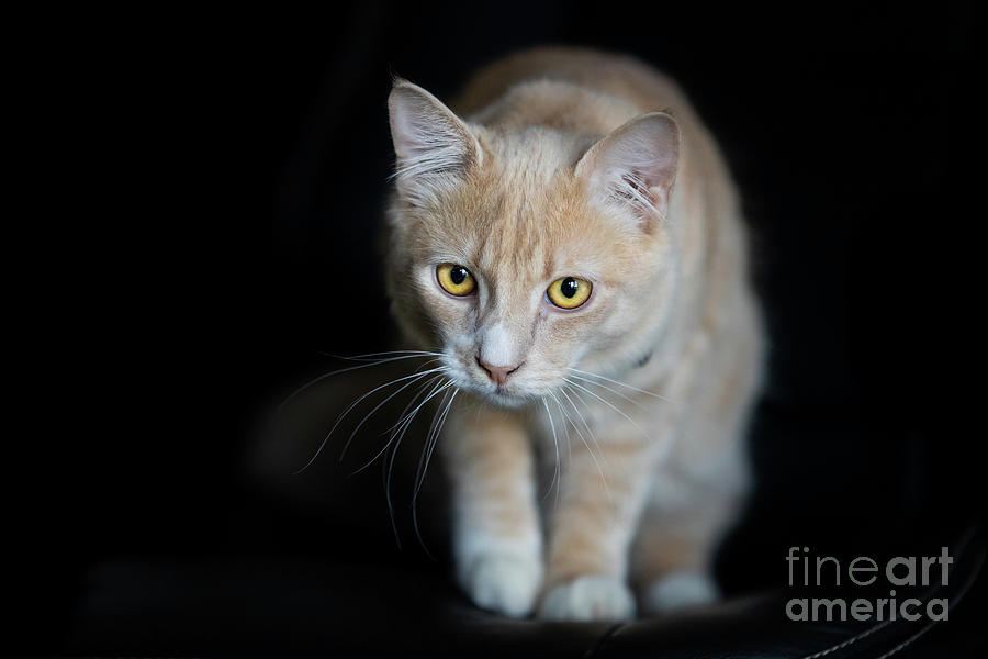Champagne Tabby Cat on Black by Michelle Wrighton