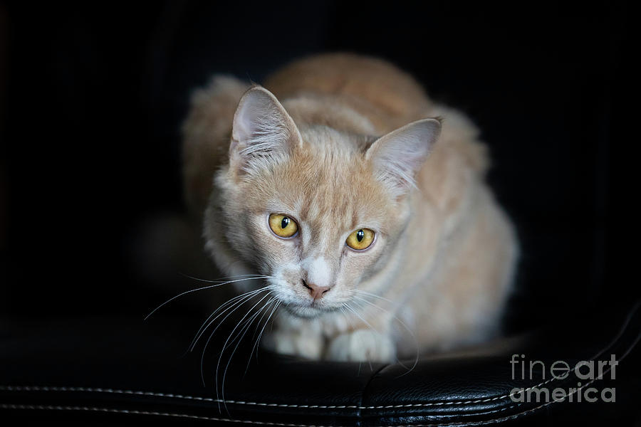 Champagne Tabby Kitten On Black by Michelle Wrighton