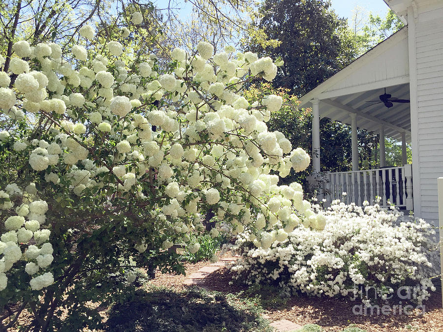 Charleston Photograph - Charleston Spring Blossoms Victorian French Quarter White Hydrangea Tree - Charleston White Blossoms by Kathy Fornal