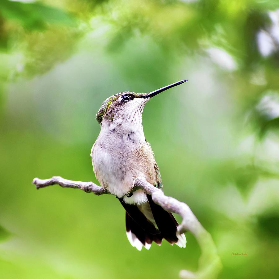 Bird Photograph - Charming Hummingbird Square by Christina Rollo