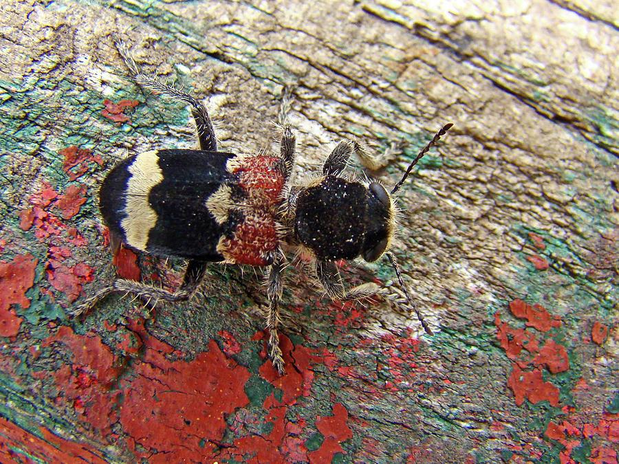 Checkered Beetle by Darren Weeks