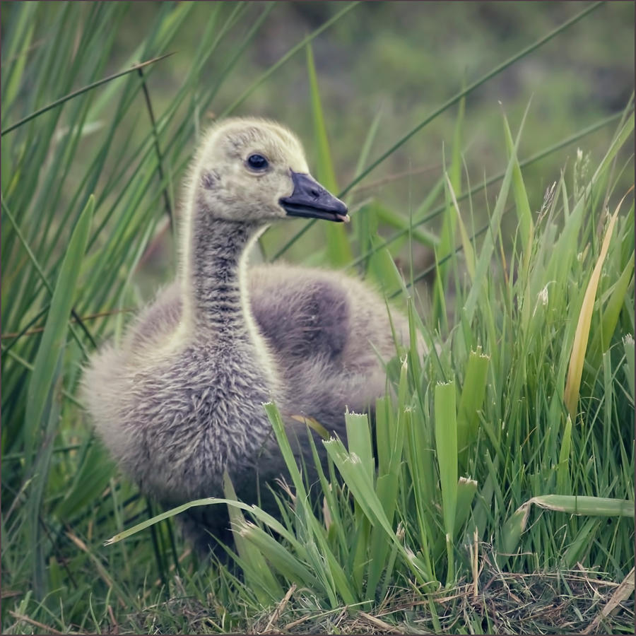 Grass Photograph - Cheeky Goose With His Tongue Out by Blackcatphotos
