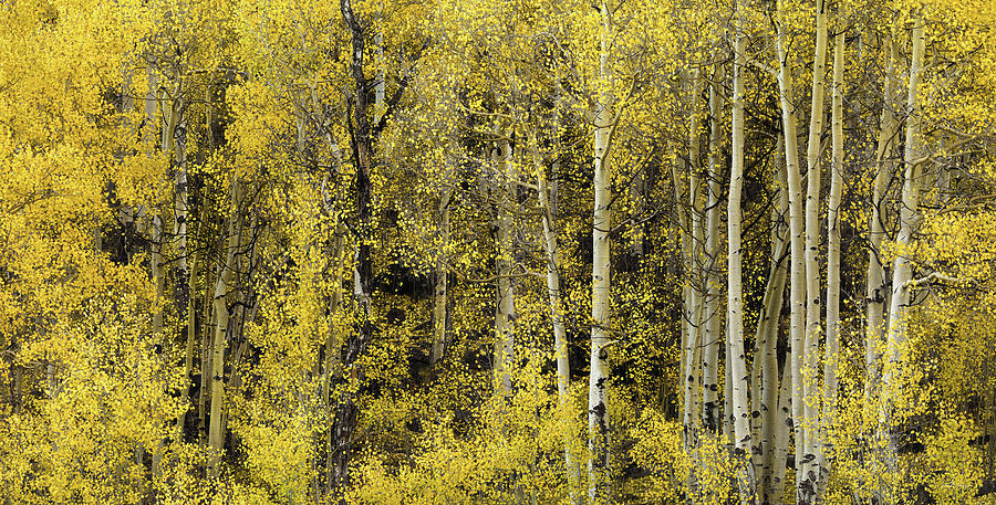Aspen Forest Photograph - Cheerful Yellow by Leland D Howard