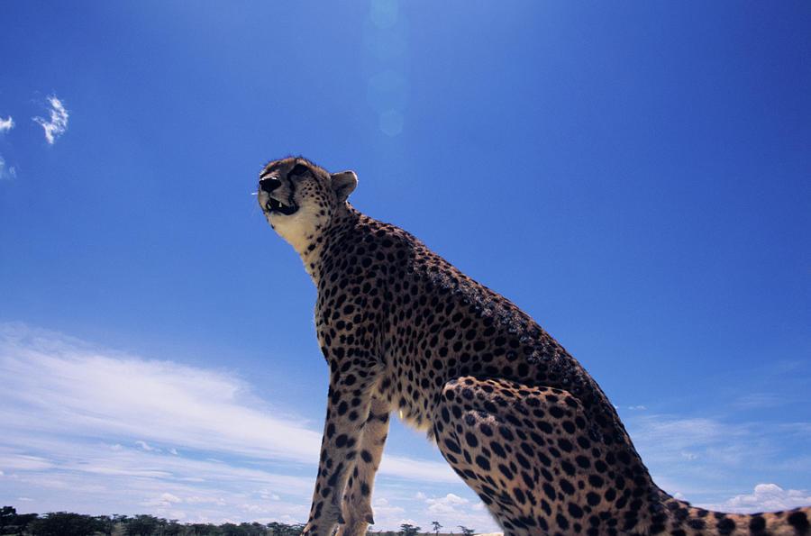 Cheetah Acinonyx Jubatus, Against Blue Photograph by Anup Shah