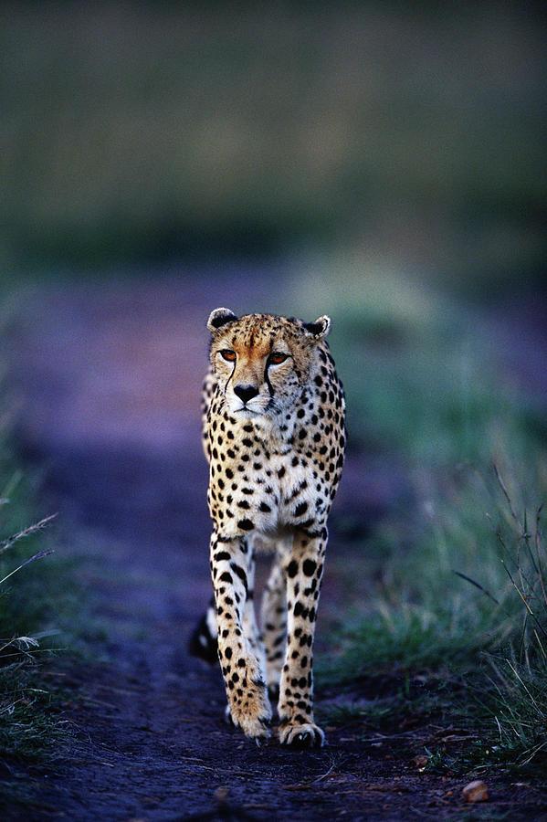 Cheetah Acinonyx Jubatus Photograph by Anup Shah