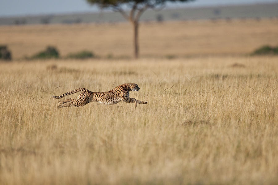 Cheetah Acinonyx Jubatus  Female At Photograph by Mike Powles