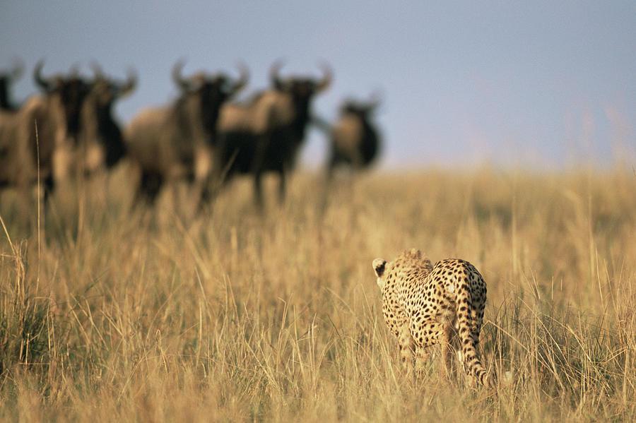Cheetah Acinonyx Jubatus Hunting Photograph by James Warwick