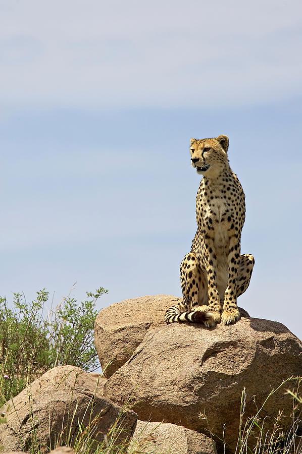 Cheetah Acinonyx Jubatus Sitting On A Photograph by James Hager / Robertharding