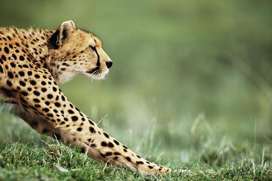 Cheetah Acinonyx Jubatus Stretching Photograph by Anup Shah