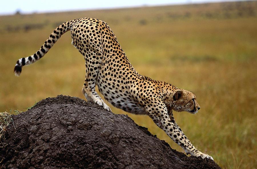 Cheetah Acinonyx Jubatus Stretching On Photograph by Art Wolfe