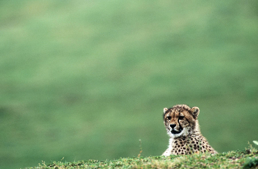 Cheetah Acinonyx Jubatus, United States Photograph by Mark Newman