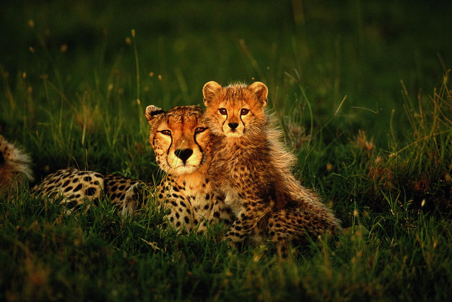 Cheetah Acinonyx Jubatus With Cubs In Photograph by Art Wolfe