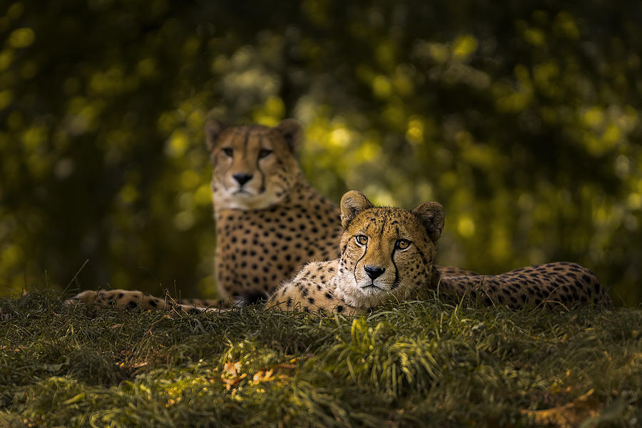 Cheetah Photograph - Cheetah Couple by Sakevanpeltfotografie