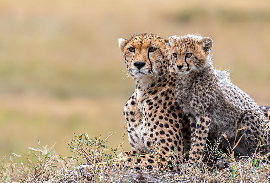 Cheetah Photograph - Cheetah Cub With  Mom by Jie  Fischer