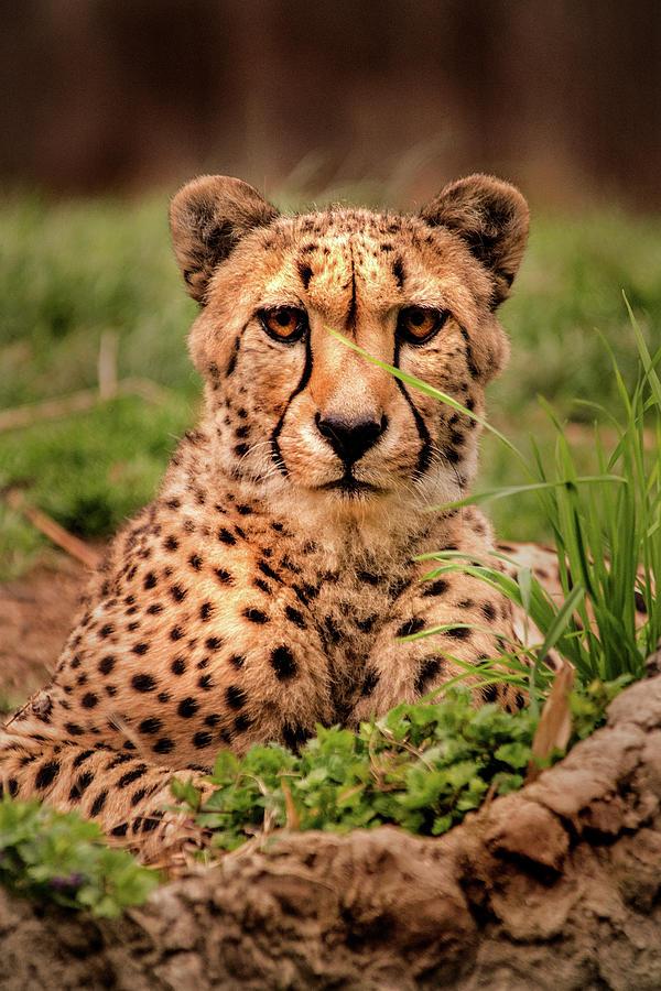 Cheetah-DC by Don Johnson