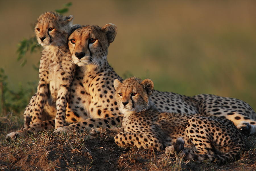 Cheetah Family Photograph by Gp232