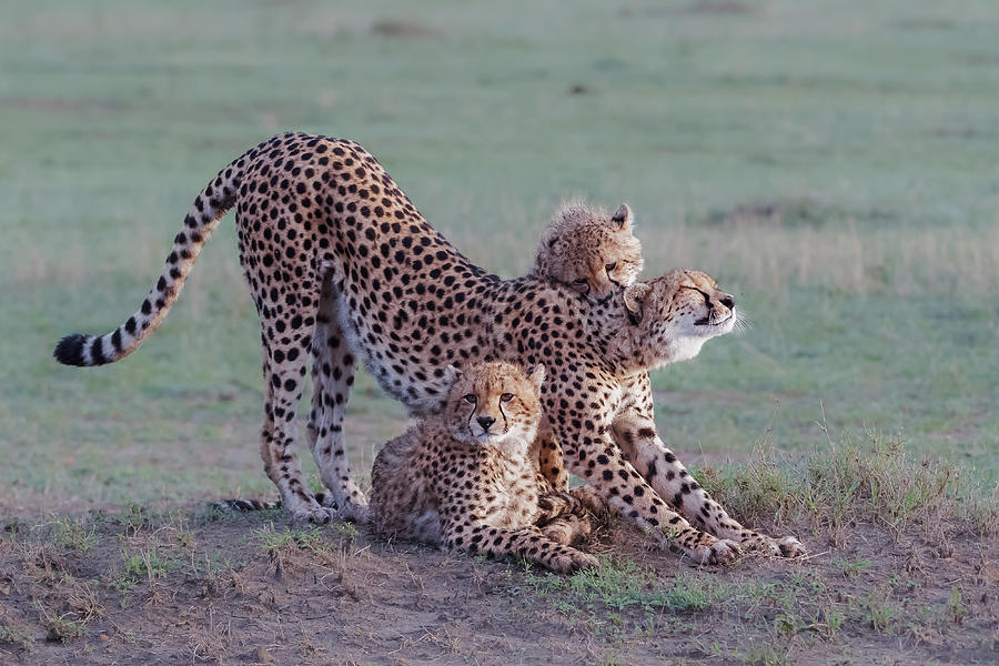 Cheetah Photograph - Cheetah Family by Jie  Fischer