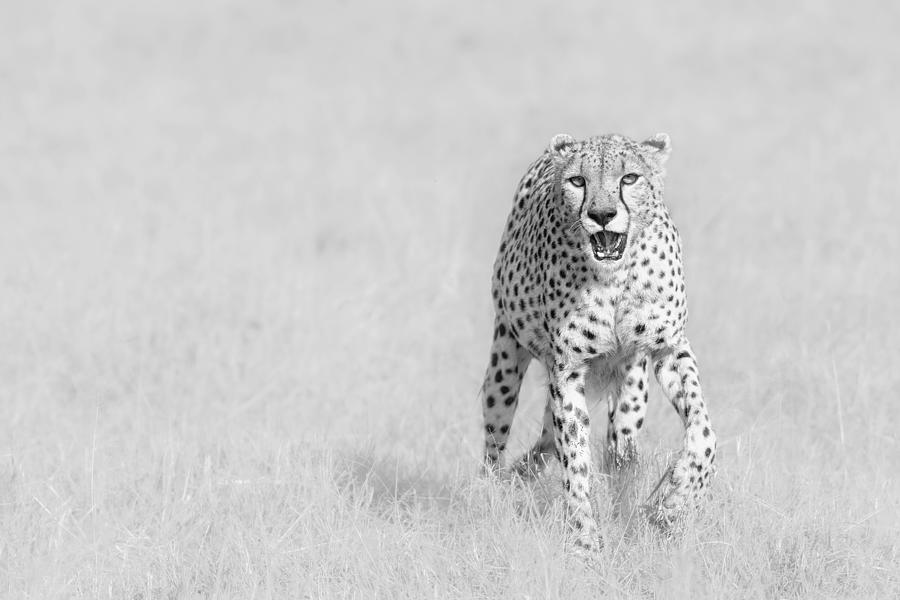Cheetah Photograph - Cheetah by Henry Zhao