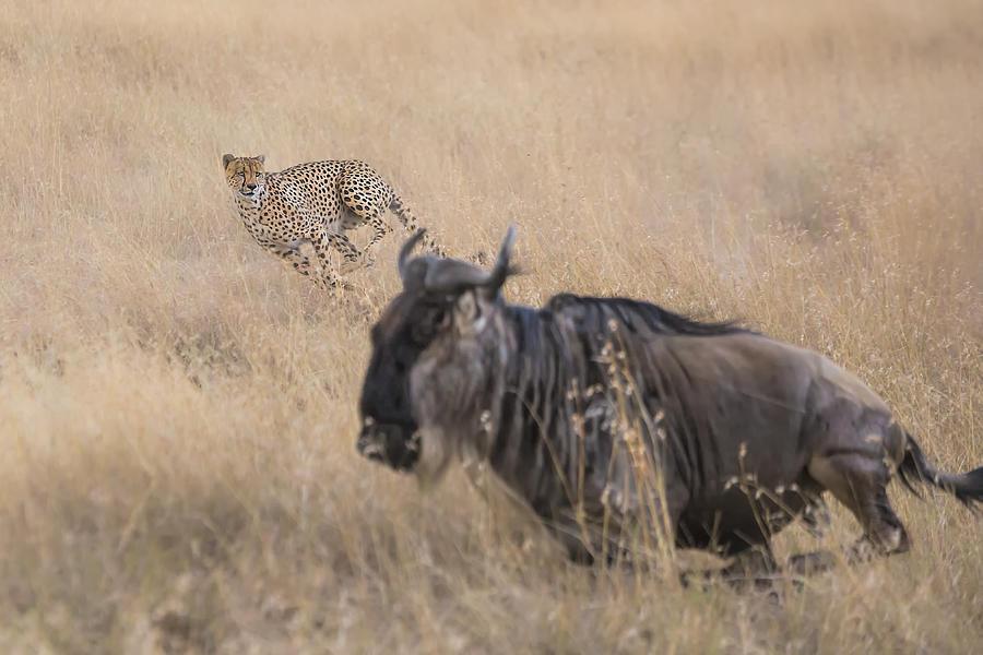 Cheetah Photograph - Cheetah Hunting - 2 by Jun Zuo