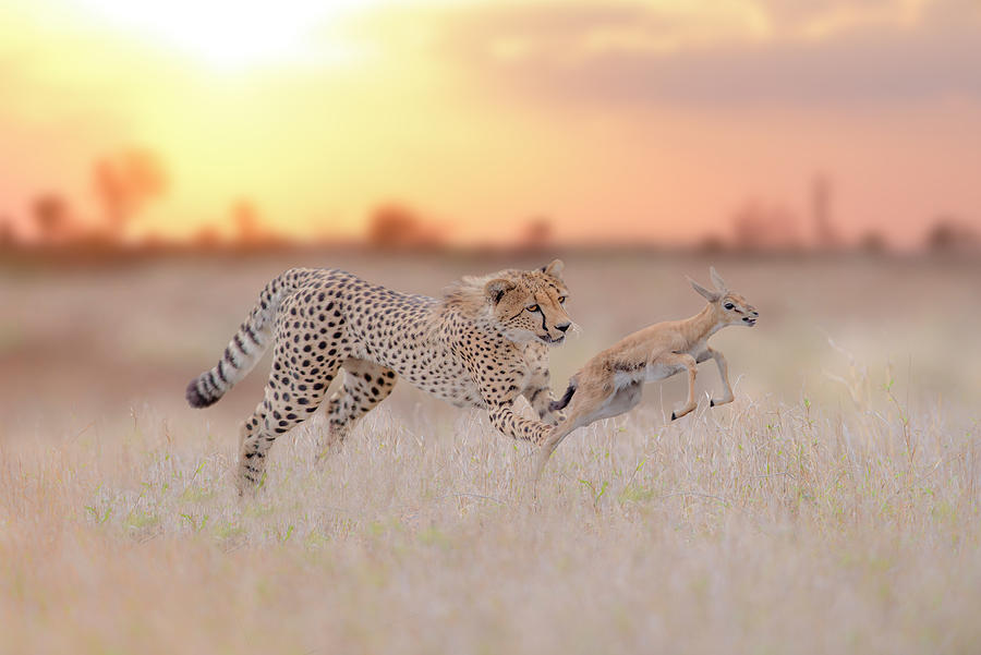 Cheetah Photograph - Cheetah Hunting A Gazelle by Ozkan Ozmen     I     Big Lens Adventures