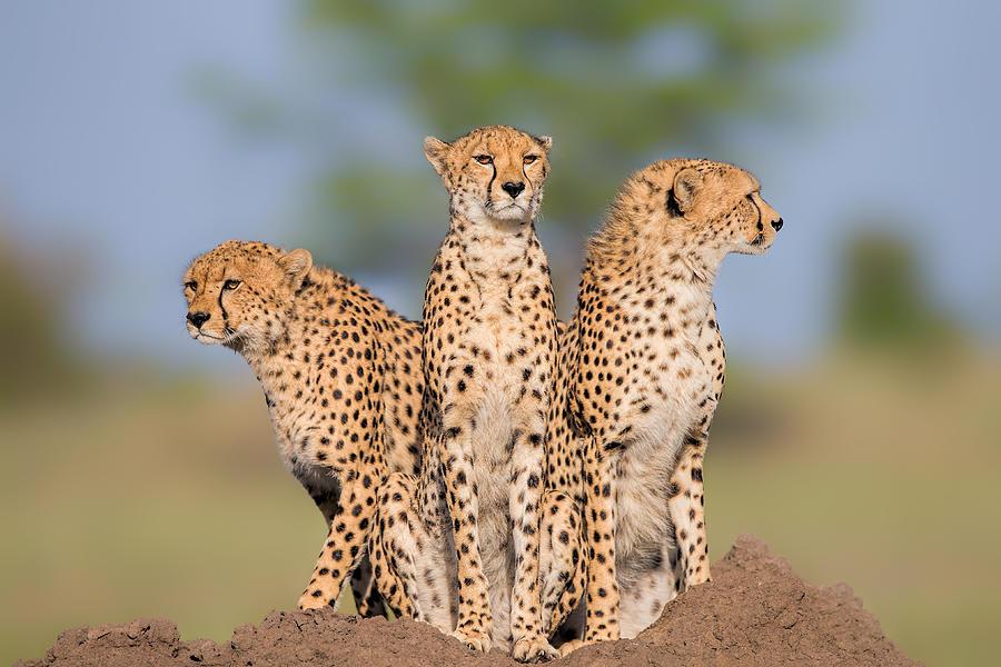 Cheetah Photograph - Cheetah Malaika And Her Two Boys by Jun Zuo