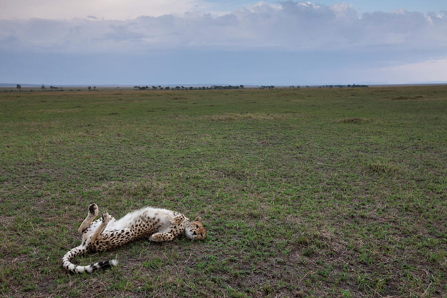 Cheetah, Masai Mara Game Reserve, Kenya Photograph by Paul Souders