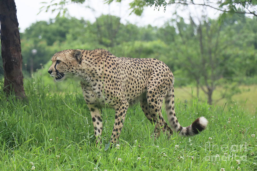 Cheetah on the hunt by Dwight Cook