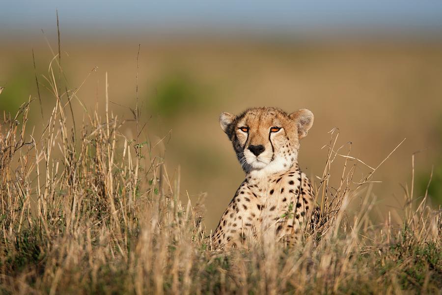 Cheetah Portrait Photograph by Gp232