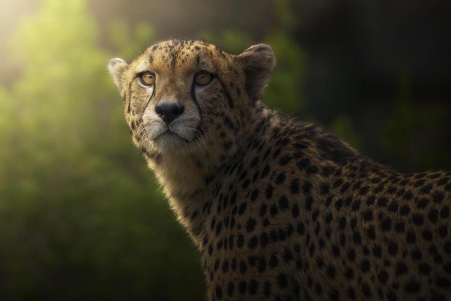 Cheetah Photograph - Cheetah Portrait. by Sergio Saavedra Ruiz