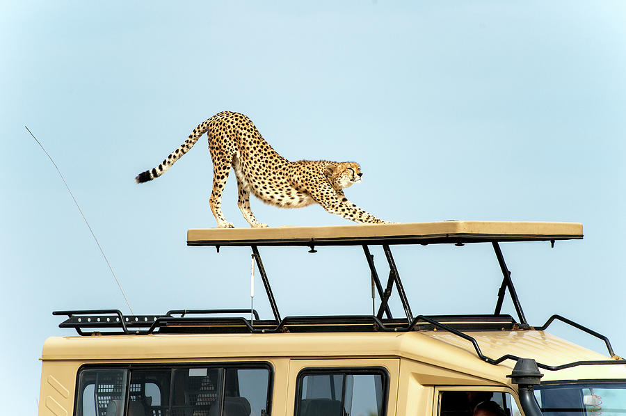Cheetah Stretching On Top Of A Safari Photograph by Mike Hill