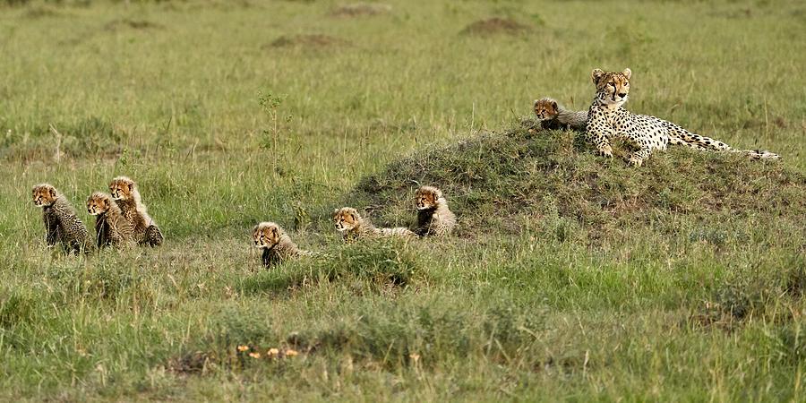 Cheetah Photograph - Cheetah With 7 Cubs! by Peter Hudson