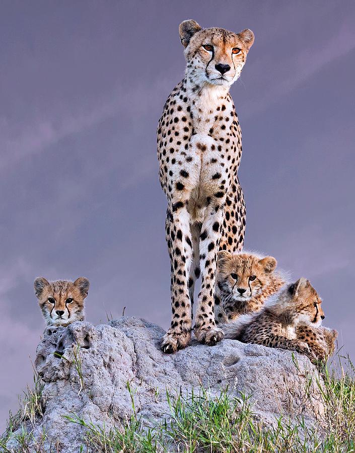 Cheetah Photograph - Cheetah With Cubs At Dawn by Arun Mohanraj