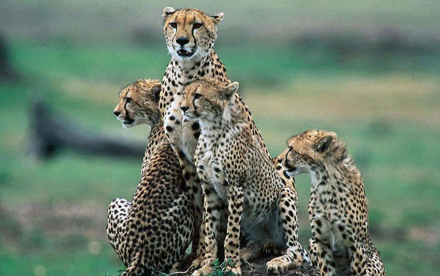 Cheetahs Acinonyx Jubatus., Masai Mara Photograph by Mark Newman