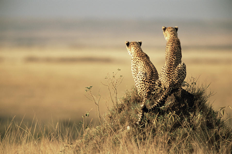 Cheetahs Acinonyx Jubatus Sitting On Photograph by James Warwick