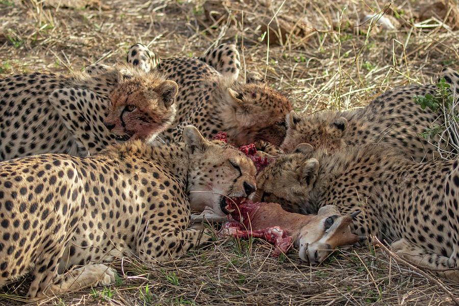 Busy Photograph - Cheetahs And Grants Gazelle by Thomas Kallmeyer