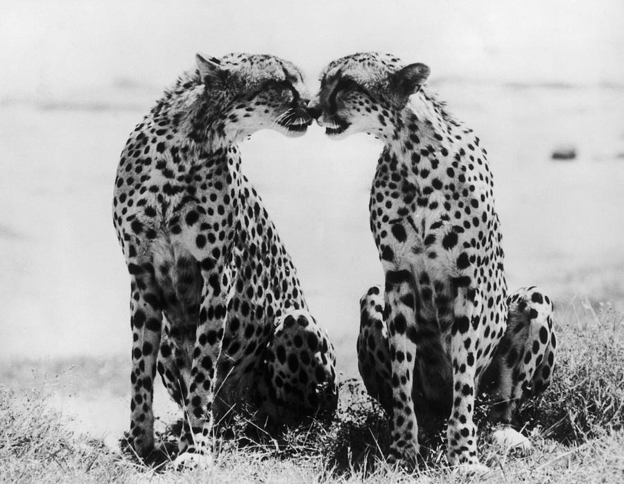 Cheetahs In Kenya In 1966 Photograph by Keystone-france