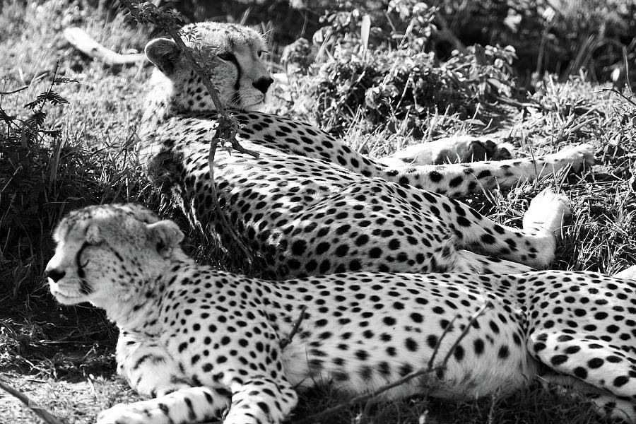 Cheetahs of the Masai Mara National Park by Aidan Moran