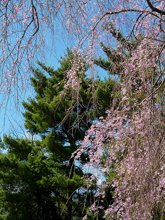 Cherry and Pine by Michael McBrayer