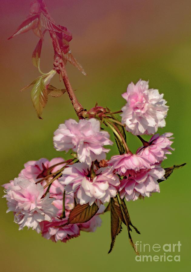 Cherry Blossom by Mandi Hibberd