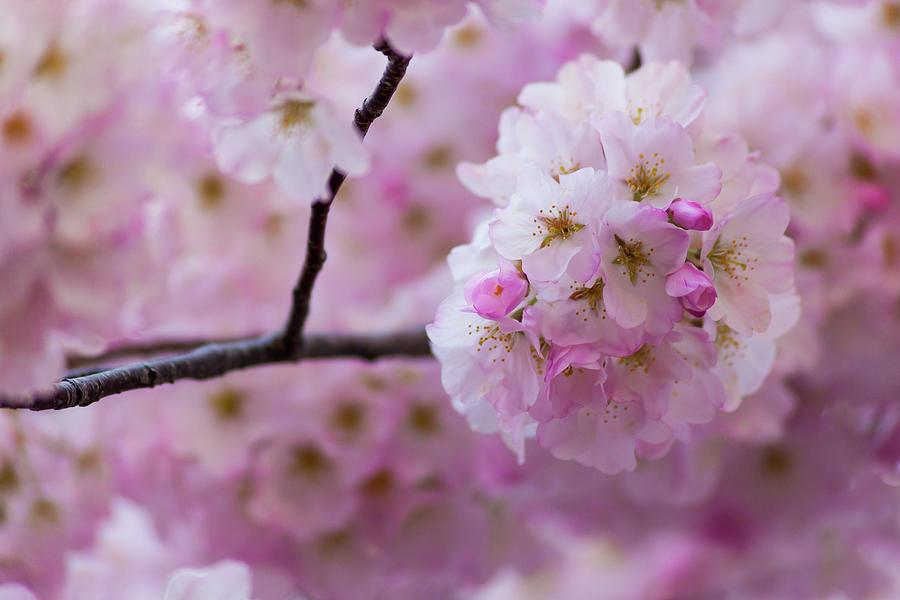 Cherry Blossom 8624 by Mark Shoolery