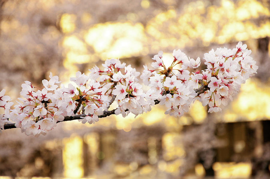 Cherry Blossom At Evening Photograph by Japan From My Eye