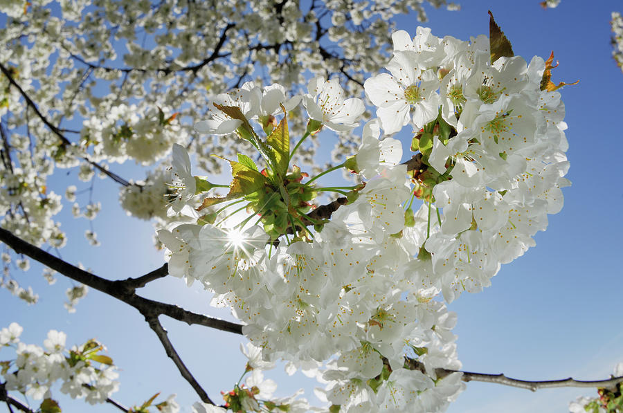 Cherry Blossom, Close Up Photograph by Martin Ruegner