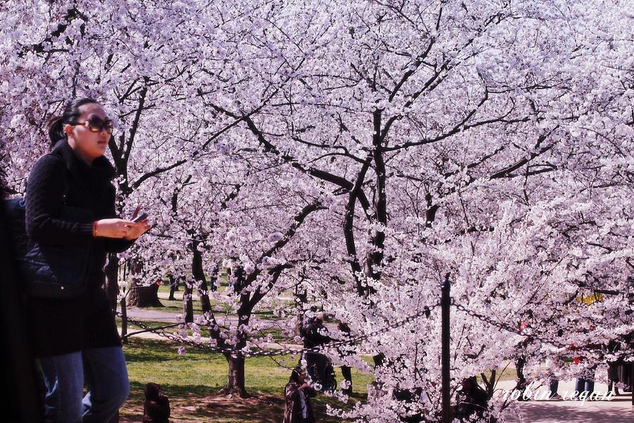Washington D C Cherry Blossom Festival Photograph By Robin Regan