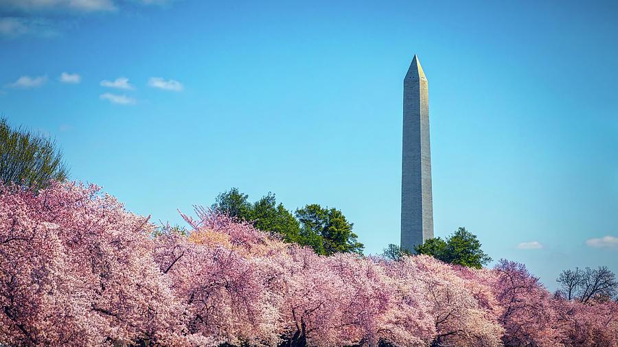 Cherry Blossom Festival by William Chizek