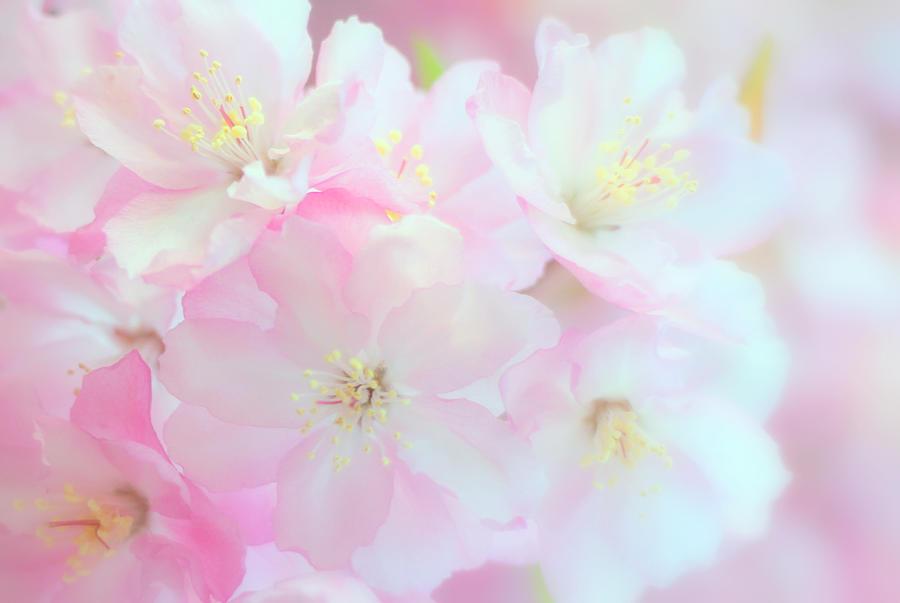 Cherry Blossom Photograph by Frais Orange Photography