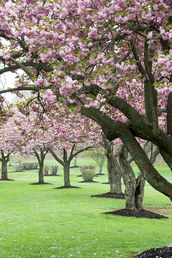 Cherry Blossom Lane by Eleanor Bortnick
