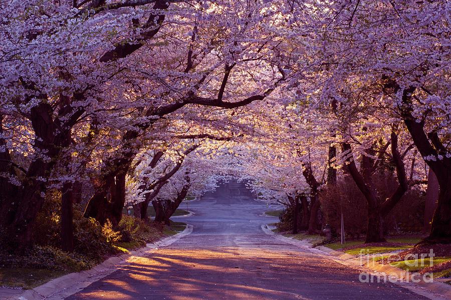 Cherry Blossom Neighborhood Photograph by Wldavies