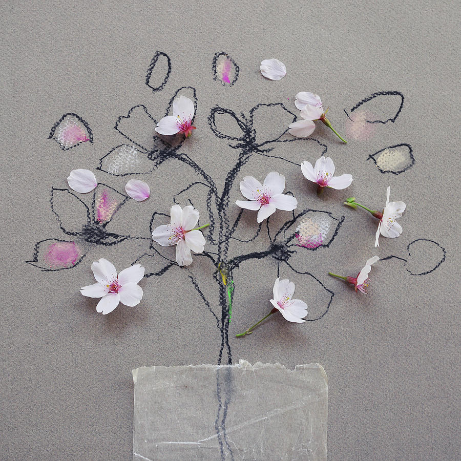 Cherry Blossom On Blossom Drawing By Fiona Crawford Watson