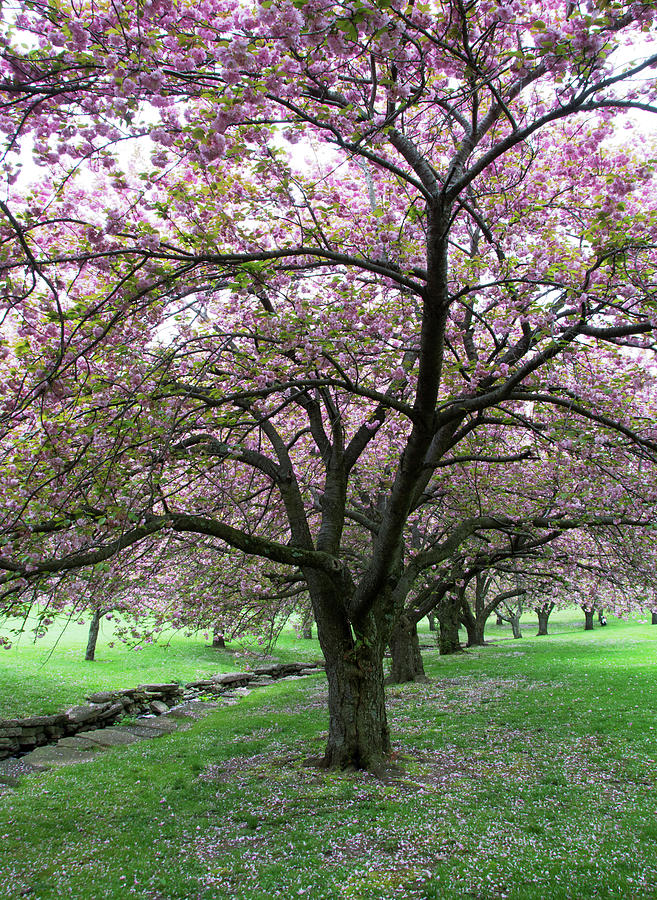 Cherry Blossom Row by Eleanor Bortnick